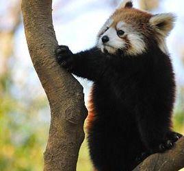 レッサーパンダの名前の由来が悲しすぎる!本当は・・・